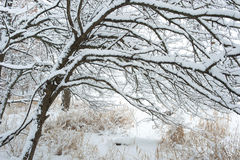Trees covered with snow. Royalty Free Stock Image