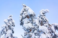 Trees covered with snow and frost in the winter forest against the blue sky royalty free stock photos