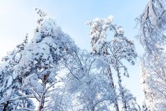 Trees covered with snow and frost in the winter forest against the blue sky stock photography