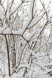 Trees covered with snow. Trees growing in the park, covered with snow after the last snowfall. Photo of plant branches, made a close-up in a small depth of field Royalty Free Stock Image
