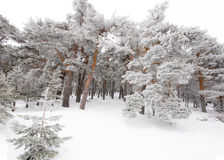 Trees covered by snow and ice crystals Stock Photography