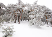 Trees covered by snow and ice crystals Stock Images