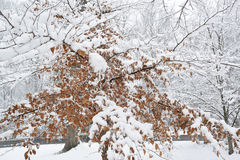 Trees covered with snow. Royalty Free Stock Images