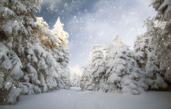 Trees covered with snow in the mountains Stock Images