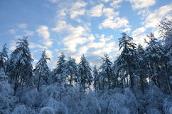 The trees are covered in snow in New Hampshire in the winter day Royalty Free Stock Image