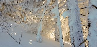Trees covered with snow royalty free stock images