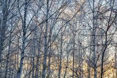 Trees covered with snow on sky background Royalty Free Stock Photography