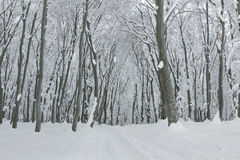 Trees covered in snow and trail through the forest Stock Photo