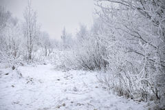 Trees covered with snow. Winter trees covered with fluffy snow crystals Royalty Free Stock Images