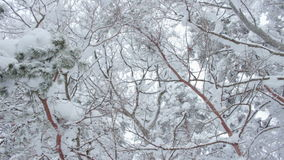 Trees covered with snow. Winter forest trees covered with snow stock video footage