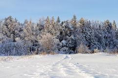 Trees covered with snow in winter forest Royalty Free Stock Photo