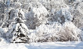 Trees covered with snow, winter forest landscape after a heavy snowfall. Beautiful cold weather scene, sunny day in. February Stock Photo