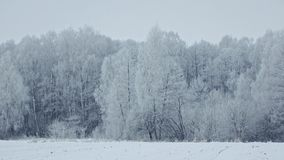 Trees Covered With Snow In Winter Frosty Forest. PAN SHOT of trees in frosty winter forest covered with rime and snow against grey sky on background and a slight stock video