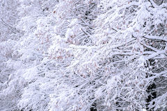 Trees covered by snow in Winter. Trees covered by snow in Winter landscape Royalty Free Stock Photography