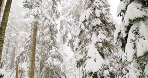 Trees covered in snow during winter. Tall trees covered in snow during winter stock video footage