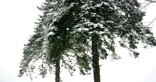Trees covered in snow during winter. Tall green trees covered in snow during winter stock video