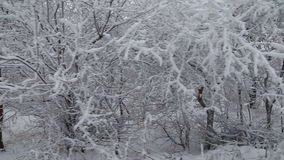Trees covered with snow. In the woods stock video