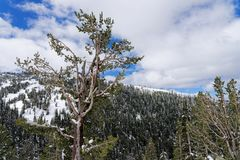 Snow covered trees in Yellowstone National Park stock photography