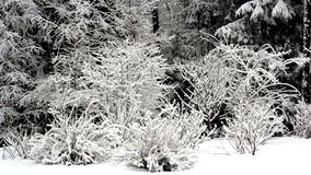 Trees are covered with thick snow. Trees surrounding the area are covered with thick white snow stock footage
