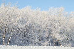 Trees covered with white snow Stock Image