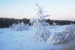 Trees covered with winter snow. Lone trees covered with winter snow stock images