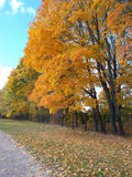 Trees covered with yellow autumn leaves Royalty Free Stock Photography