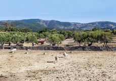 Trees with cow. S of the Sierra de France located in the Spanish province of Salmanca. you can see some the mountains in the background. It's a sunny day Stock Photos