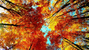 Trees crowns in autumn. Crown of colorful trees in forest autumn, on a sunny day, Full HD video