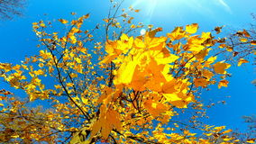 Trees crowns in autumn. Crown of colorful trees in forest autumn, on a sunny day, 4K video stock footage