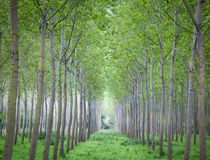Trees cultivation Stock Photography