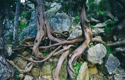 Trees with curly roots. Old vintage tree roots,outside stock photography