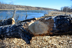 Trees cut / chiseled by beaver. Trees cut cut down and chiseled by beaver along riverside for constructing beaver dam Stock Image
