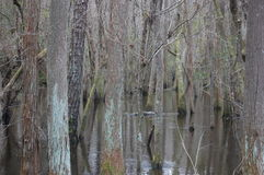 Trees in cypress swamp Royalty Free Stock Photos