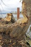 Trees Damaged by Beavers Stock Photos
