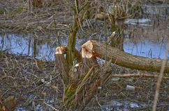 Trees damaged by beavers Stock Photography