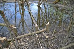 Trees damaged by beavers Royalty Free Stock Photos