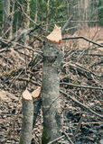 Trees damaged by beavers. Stock Photos