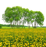 Trees on dandelion field Stock Image