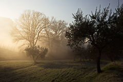 Trees at dawn. Some trees at dawn, with beautiful sunrays cutting throug the mist and projecting shadows Royalty Free Stock Image