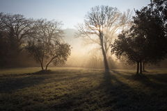 Trees at dawn. Some trees at dawn, with beautiful sunrays cutting throug the mist and projecting shadows Stock Photo