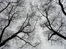 Trees with dead branches. Are silhouetted against the gray sky Stock Image