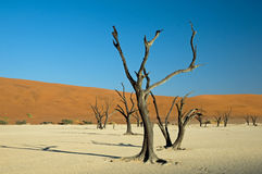 Trees at Dead Vlei in Namibia Royalty Free Stock Photography