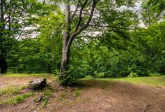 Trees of deep ancient forest. Trees of deep green and ancient forest Royalty Free Stock Photo