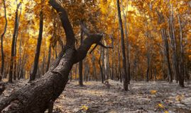 The trees in the deep forest. Which is color in orange stock image