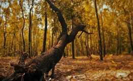 The trees in the deep forest. Which is color in orange royalty free stock images