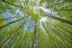 Trees in the deep mountain forest. Royalty Free Stock Image