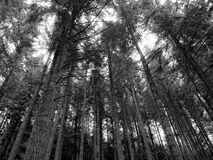 Trees in dense forest. Looking up through the trees in the cascade mountains royalty free stock image