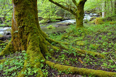 Trees in dense forest. Stock Photography