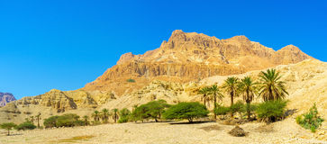 The trees in deser. The Judean Desert is one of the world's smallest, yet most unique desert regions, Ein Gedi Nature Reserve, Israel Royalty Free Stock Image