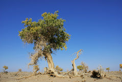 Trees in the desert. Diversifolia populus in the desert. Inner Mongolia. China royalty free stock images